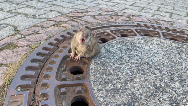 El emotivo rescate de una rata con sobrepeso que estaba atascada en una alcantarilla