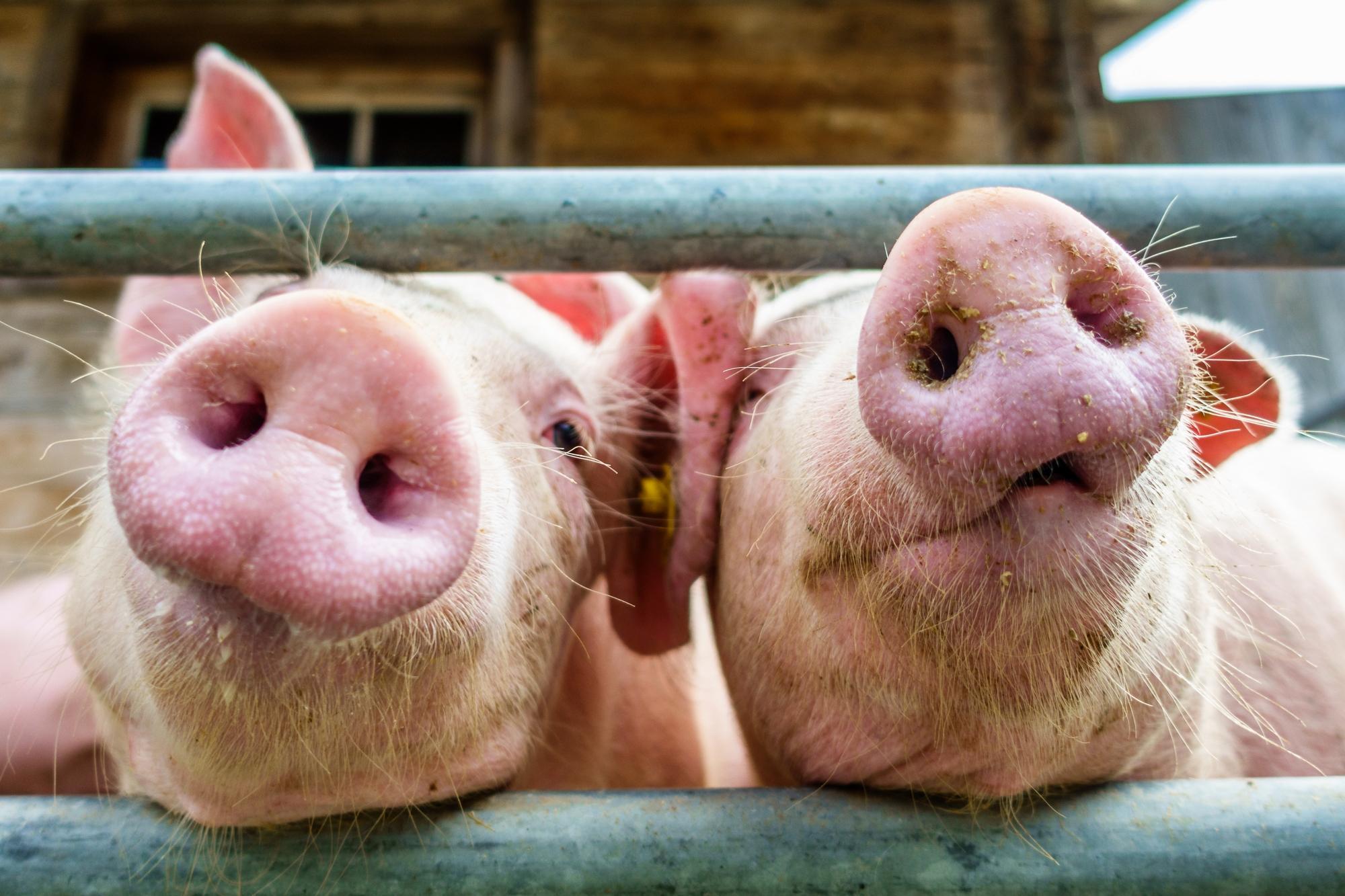 Por qué los chinos usan sistemas de reconocimiento facial para los cerdos